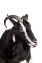 Toggenburg goat on the white isolated background Stock Photography