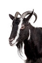 Toggenburg goat on the white isolated background Stock Photo