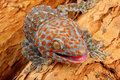 Tokay gecko closeup of a Royalty Free Stock Image