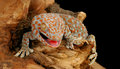 Tokay gecko closeup of a Stock Photo