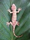 Tokay Gecko Gecko Gecko On Gre...
