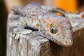 Tokay gecko, Gekko gecko Royalty Free Stock Photo