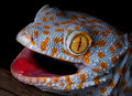 Tokay gecko portrait Royalty Free Stock Photo