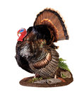 Tom taxidermy of a male turkey in full strutt Royalty Free Stock Images