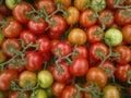 Tomato on the branc,  fresh harvest from garden Royalty Free Stock Photo