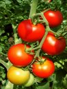Tomato bunch Royalty Free Stock Photo