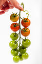 Tomato bunch Royalty Free Stock Photo