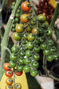 Tomato cherry plant Royalty Free Stock Photo