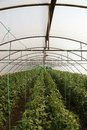 Tomato cultivating in green house view at the Royalty Free Stock Images