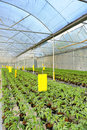 Tomato cultivation and cultured seedlings Stock Photos