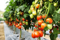 Tomato cultivation red asia style Stock Photo