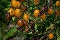 Tomato disease - late blight. Royalty Free Stock Photo