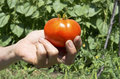 Tomato in farmer hand tasty Stock Photography
