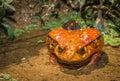 Tomato frog, endemic of Madagascar Royalty Free Stock Photo