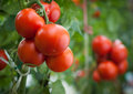 Tomato the growth of plants inside the greenhouse Stock Photography