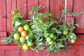 Tomato harvest Royalty Free Stock Photo
