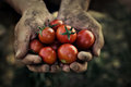Tomato harvest farmers hands with freshly harvested tomatoes Stock Images
