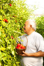 Tomato harvesting picking fresh tomatoes Royalty Free Stock Image