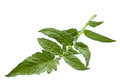 Tomato leaf closeup Royalty Free Stock Photos
