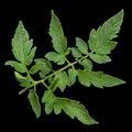 Tomato leaf closeup isolated on black background Stock Photography