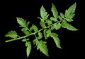 Tomato leaf closeup isolated on black background Stock Photos