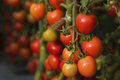 Tomato nearly to harvest clusters of being ready harvesting Stock Image