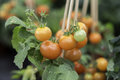 Tomato Plant Close Up Royalty Free Stock Photo
