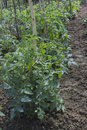 Tomato plant with flowers in the garden Stock Photo