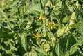 Tomato plant flowers and leaves growing in vegetable garden Royalty Free Stock Photo