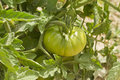 Tomato plant with green Royalty Free Stock Photography