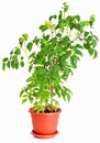 Tomato plant growing in a flower pot Royalty Free Stock Photos