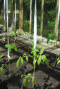 Tomato plant growing in greenhouse Royalty Free Stock Photo