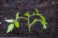 Tomato Plant Macro