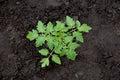 Tomato plant Royalty Free Stock Photo