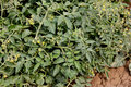 Tomato plant solanum lycopersicum solanaceae cultivated annual herb with pinnate leaves yellow flowers in racemes and red berries Stock Photos