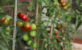 Tomato plant vegetable cultivations the various stages of maturation Stock Image