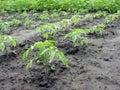Tomato plantation Stock Images
