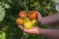 Tomato plantation closeup of hands holding plants on Stock Photography