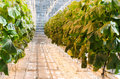 Tomato plantation a inside a green house with heating lamps and bees Royalty Free Stock Photos
