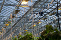 Tomato plantation a inside a green house with heating lamps and bees Royalty Free Stock Image