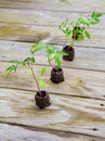 Tomato plants Royalty Free Stock Photo