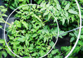 Tomato Plants in Cage Stock Photography