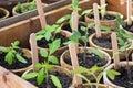 Tomato plants Royalty Free Stock Photo