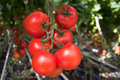 Tomato production Stock Photography