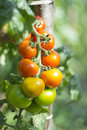 Tomato ripening bunch of grapes ripened tomatoes Royalty Free Stock Photos