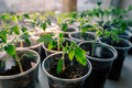 Tomato seeding in pots on window sill Royalty Free Stock Image