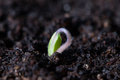 Tomato Seedling Germinating in Pot Royalty Free Stock Photo