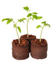 A tomato seedling in the peat pot, isolated Royalty Free Stock Photo