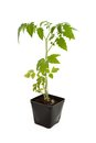 Tomato seedling plant with white background Royalty Free Stock Photo
