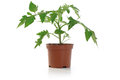 Tomato Seedling Potted Plant Royalty Free Stock Photo